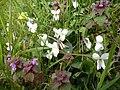 Viola alba + Lamium purpureum.jpg