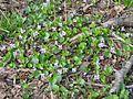 Viola epipsila 5771.jpg