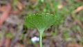 Viola hederacea leaf underside (16092288606).jpg