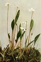 Viola lanceolata WFNY-140B.png