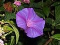 Violet (259629675).jpg