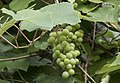 Vitis labrusca - Isabella grapevine 02.jpg
