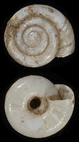 Vitrea vereae shell