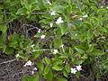 Volkameria inermis (Clerodendum inerme).jpg