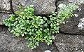 Wall-rue (Asplenium ruta-muraria) - geograph.org.uk - 1380293.jpg