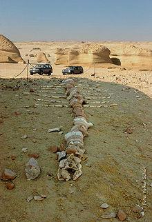 وادي الحيتان في مصر 220px-Walskelett