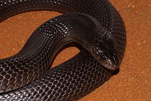 Walterinnesia aegyptia - Desert cobra (Walterinnesia aegyptia)