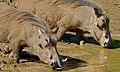 Warthogs (Phacochoerus africanus) (6619068997).jpg