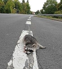 7a382a03f7e68b Waschbären werden oft Opfer nächtlicher Verkehrsunfälle