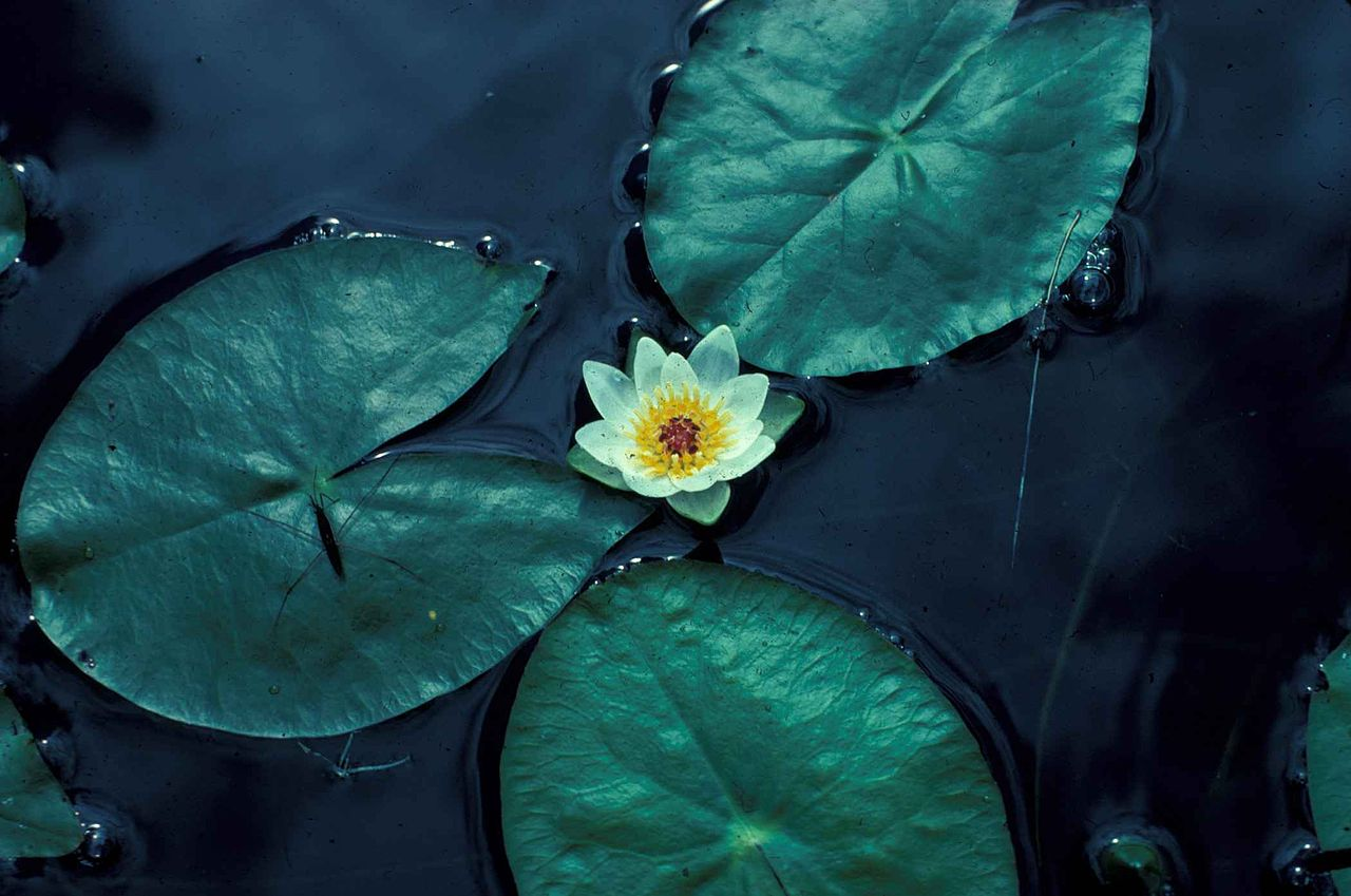 Filewater Lily Flower Nelumbo Lutea American Lotusg Wikimedia