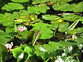 Waterlilies, Clincton Wood Local Nature Reserve - geograph.org.uk - 930367.jpg