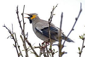 Wattled Starling (Creatophora cinerea) male calling ... (32541920563).jpg