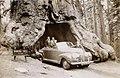 Wawona tree 1946.jpg