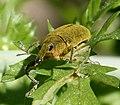 Weevil. Curculionidae. - Flickr - gailhampshire.jpg