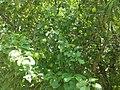 Weir Farm National Historic Site - apples.jpg