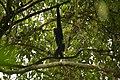 Western hoolock gibbon.jpg
