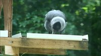 Ficheiro:Western jackdaw (Corvus monedula) on a bird table.webm
