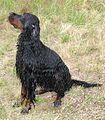 Wet-Gordon-Setter.jpg