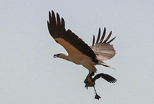 Lesser whistling duck - White-bellied sea eagle (Haliaeetus leucogaster) with captured duck