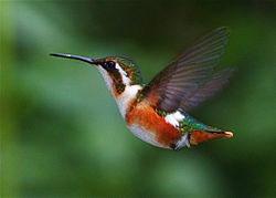 White-bellied Woodstar (female).jpg