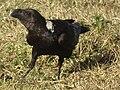 White-necked Raven Corvus albicollis Tanzania 3883 cropped Nevit.jpg
