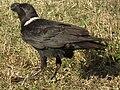 White-necked Raven Corvus albicollis Tanzania 3887 cropped Nevit.jpg
