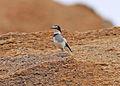 White-tailed Shrike (Lanioturdus torquatus) (8077255030).jpg