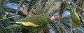 White-winged Parakeet From The Crossley ID Guide Eastern Birds.jpg