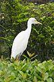 White Egret (24777744695).jpg