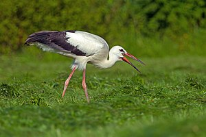 White stork - A juvenile feeding on an insect