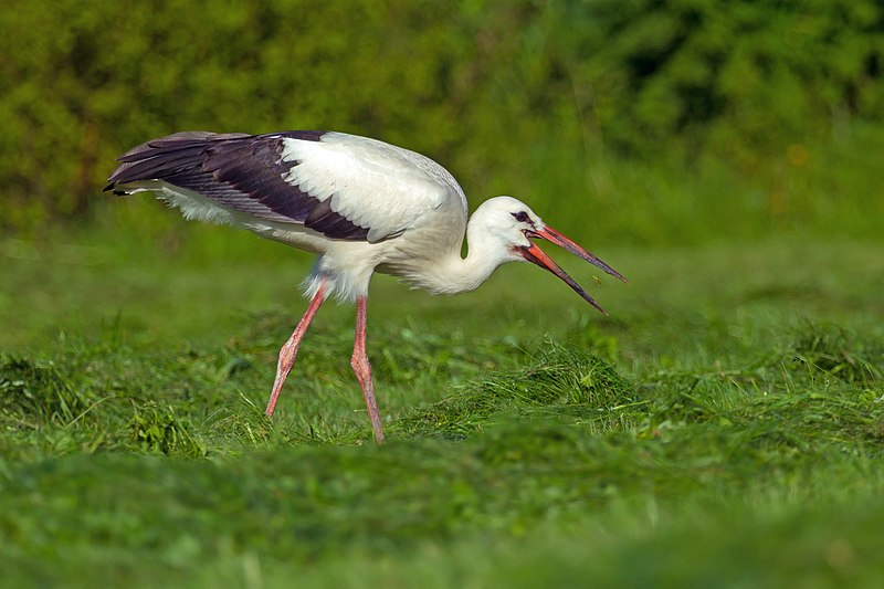 File:White Stork.jpg