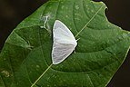 White moth 11975.jpg