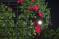 Wild Roses Embracing The Moon (155432949).jpeg