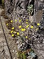 Wild flower Madeira 1.jpg