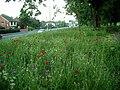 Wildflower bank, Nottingham Road - geograph.org.uk - 451349.jpg