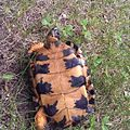 Wood Turtle plastron.jpg