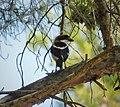 Woodchat Shrike. Lanius senator (43783318925).jpg