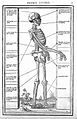 Woodcut; skeleton, side view, circa 1530-1545. Wellcome L0019614.jpg