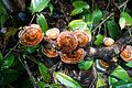 Woody fungus in Borneo (27901186246).jpg
