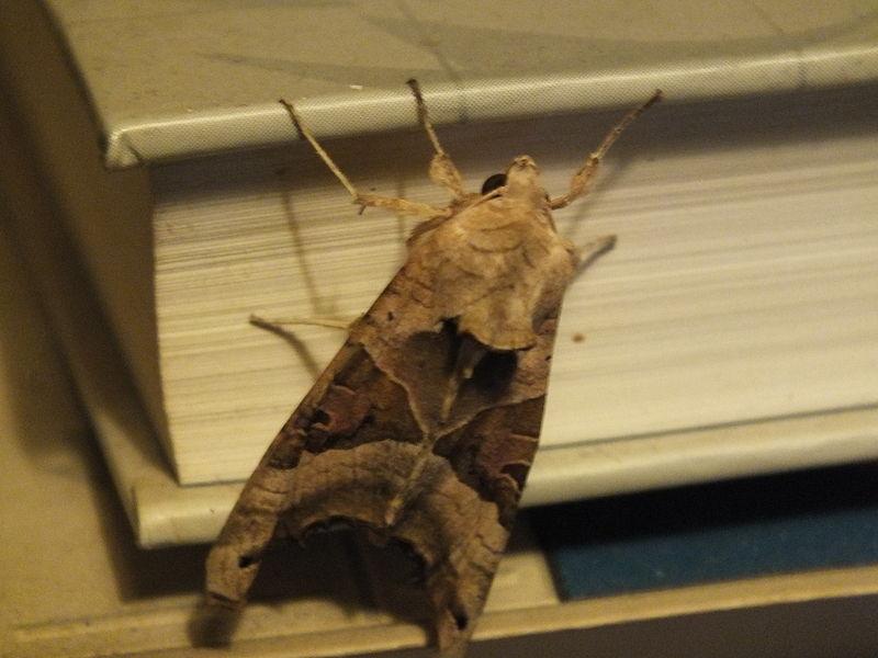 File:Wzwz butterfly b3.jpg