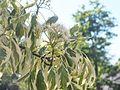 Wzwz tree 07f Cornus controversa 'Variegata'.jpg