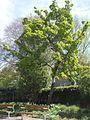 Wzwz tree 09a Acer tataricum subsp. ginnala.jpg
