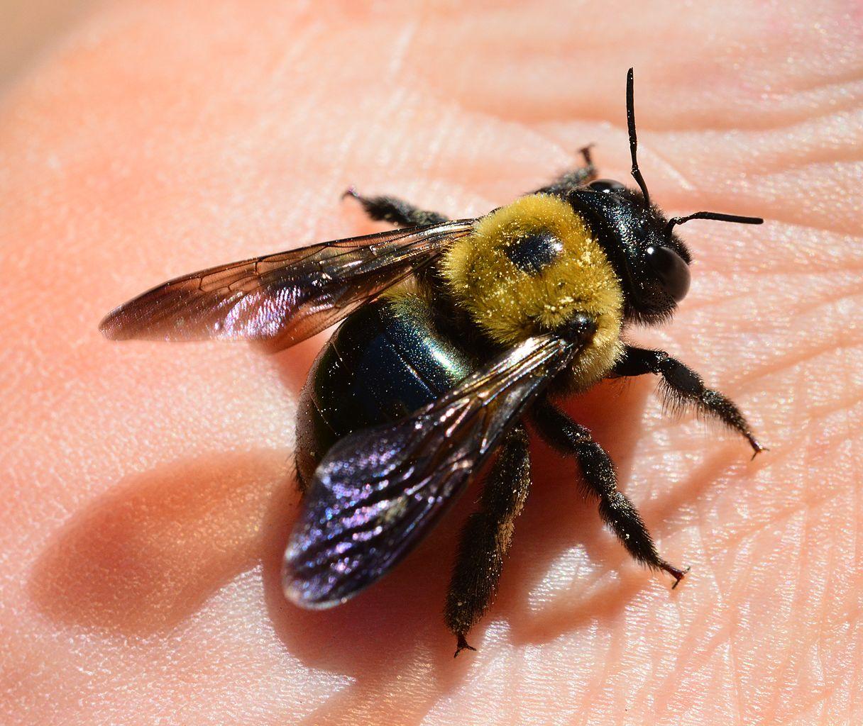 Get Rid Carpenter Bees Naturally