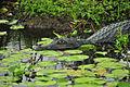 Yacaré, uno de los atractivos de las Lagunas del Iberá.JPG