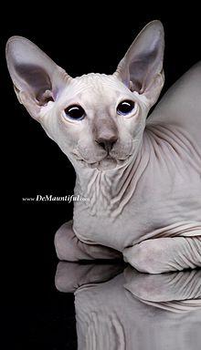кошки породы сфинкс википедия