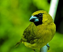 Yellow-Green Grosbeack.jpg