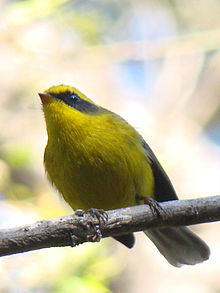 Yellow-bellied Fantail.jpg