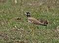 Yellow-wattled Lapwing (Vanellus malarbaricus) at Bharatpur I IMG 5420.jpg