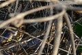 Yellow Anaconda (Eunectes notaeus) (48418930202).jpg