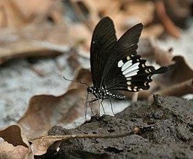 Yellow Helen Papilio nephelus at Jayanti, Duars, West Bengal W IMG 5403.jpg
